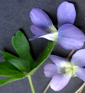 "Native Violet: ""Flower of Modesty"""